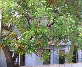 pohon-mimba