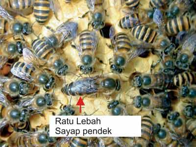 ratu-lebah1