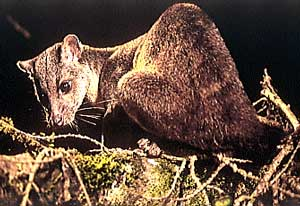 sulawesi-civet