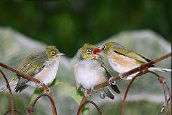 burung kacamata togean