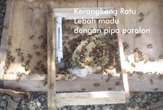 ratu lebah madu di dalam paralon