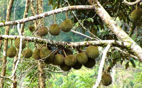 buah durian di pohon