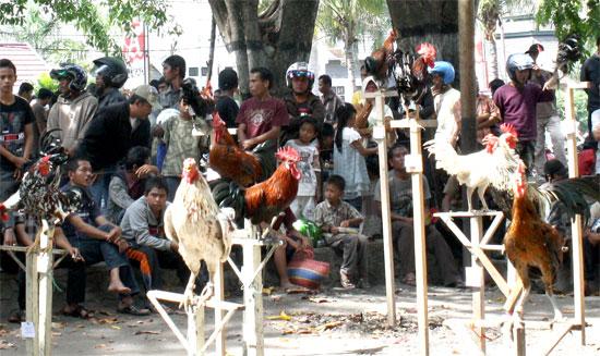 Ayam Ketawa di Palu