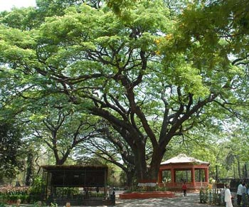 sosok pohon trembesi dengan kanopinya